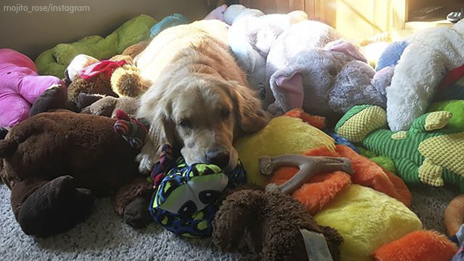 This golden retriever has gone viral for her very unusual bedtime routine
