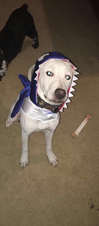 <div class='meta'><div class='origin-logo' data-origin='none'></div><span class='caption-text' data-credit=''>Shark dog - sent in by Robin Creatura Tylecki</span></div>