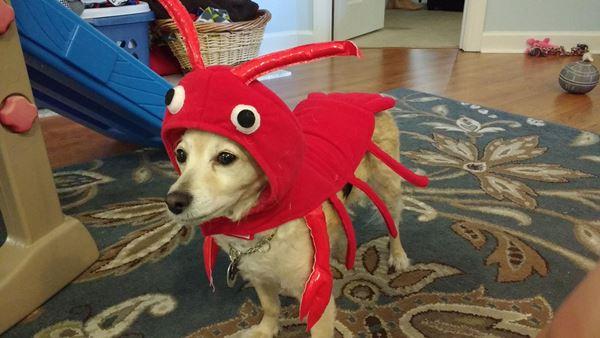<div class='meta'><div class='origin-logo' data-origin='none'></div><span class='caption-text' data-credit=''>Tess the lobster from Sarah Vernon Rabideau</span></div>