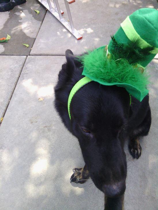 <div class='meta'><div class='origin-logo' data-origin='none'></div><span class='caption-text' data-credit=''>Lab with a green hat! - Alison Polonchak</span></div>