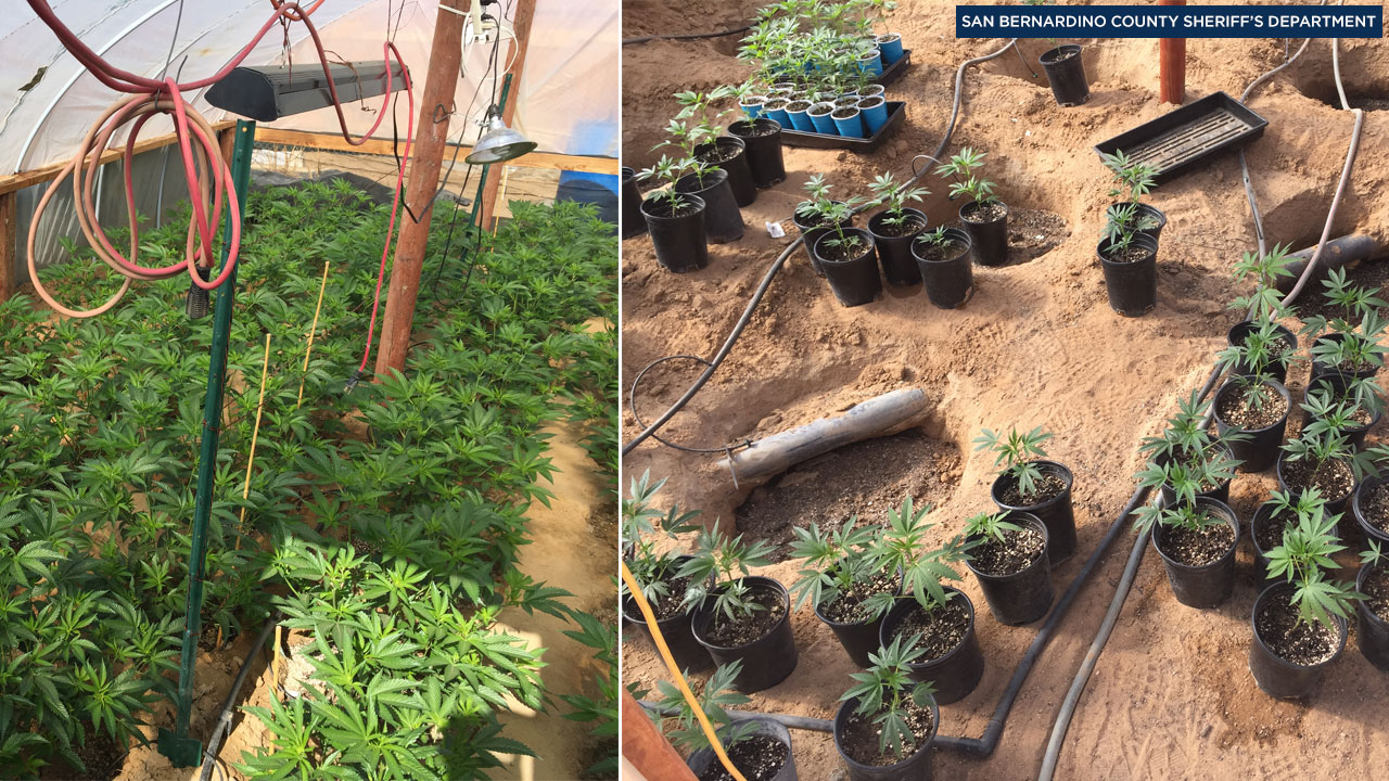 Authorities took photos of marijuana plants and the processed drug that were found at six homes in Landers and Yucca Valley on Friday, Nov. 4, 2016.