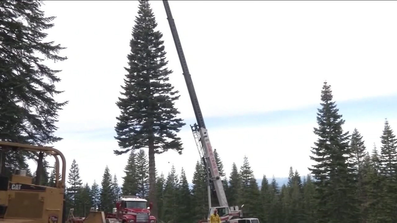 This is an undated image of the holiday tree to be used at Calfiornia's State Capitol.