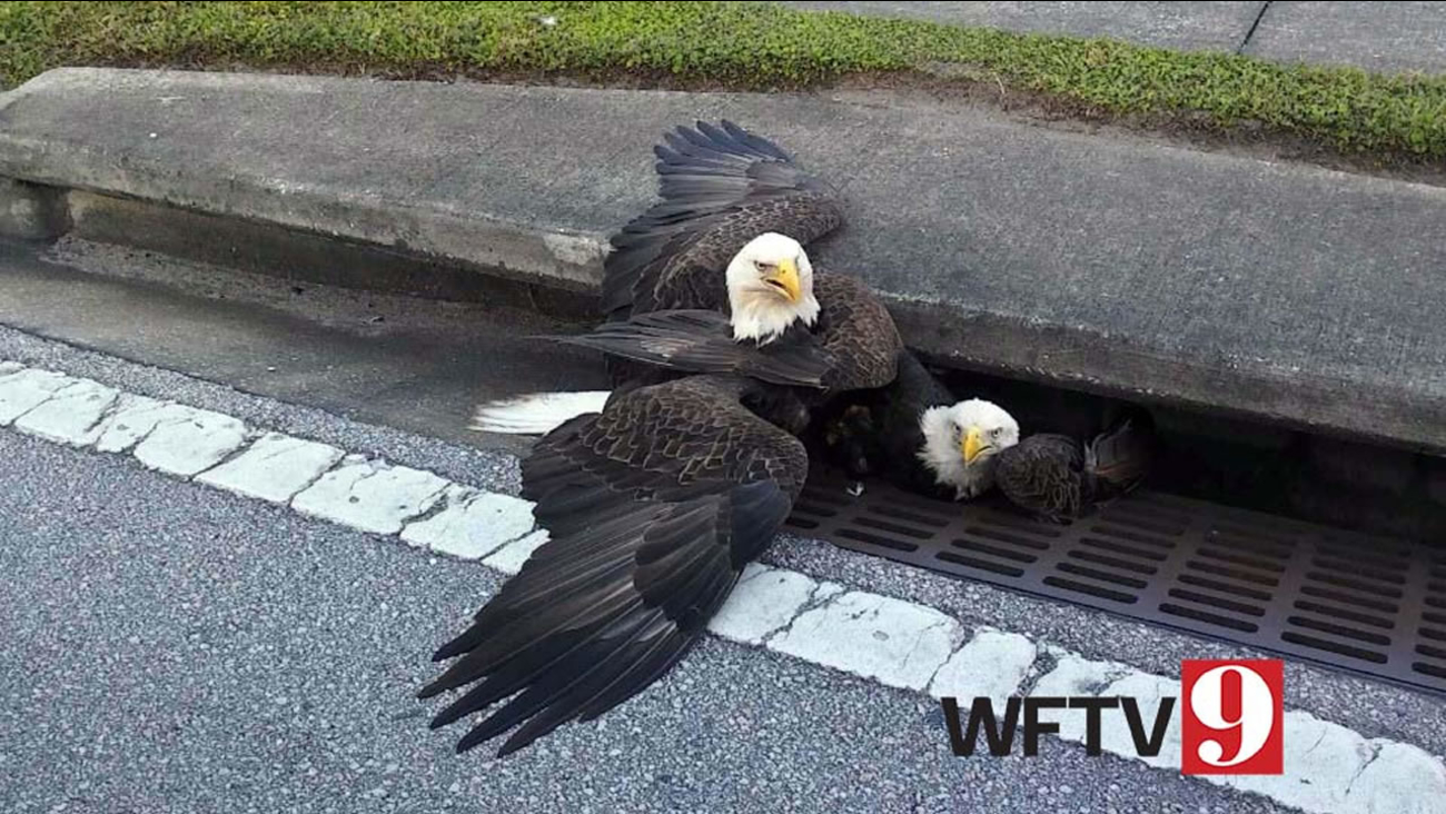 Two bald eagles got caught in a storm drain in Orange County, Florida on Nov. 10, 2016.
