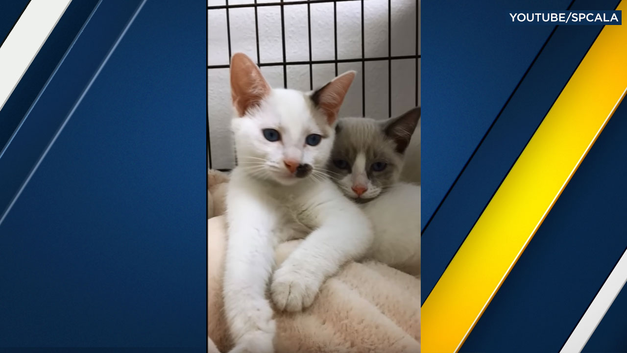 Two of five cats found abandoned in a carrier outside of the spcaLA South Bay Pet Adoption Center are shown in a photo.