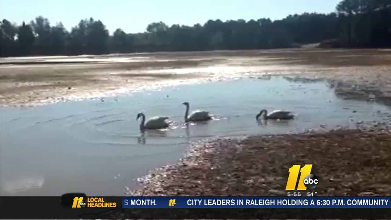 Swans make the best of now-dry lake