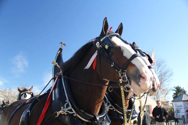 <div class='meta'><div class='origin-logo' data-origin='KTRK'></div><span class='caption-text' data-credit='Anheuser-Busch'>Budweiser Clydesdale hitch team close-up</span></div>