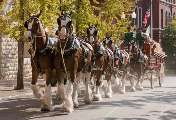 <div class='meta'><div class='origin-logo' data-origin='KTRK'></div><span class='caption-text' data-credit='Anheuser-Busch'>Budweiser Clydesdales marching through the St. Louis Brewery</span></div>