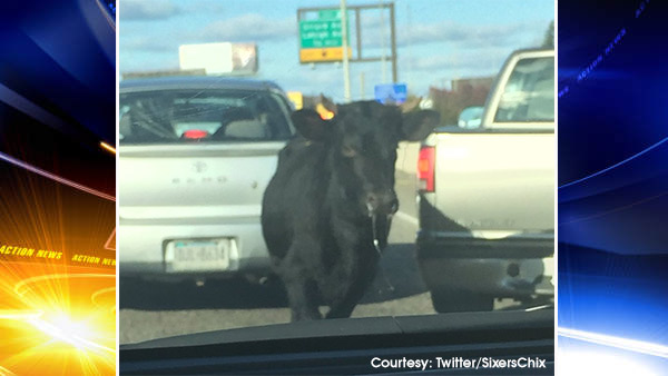 Runaway bull blocks traffic on roads, highways in Center City