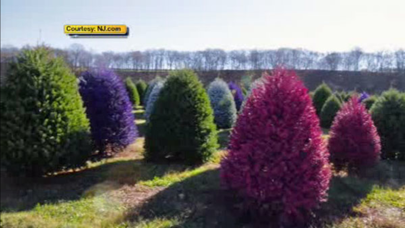 Christmas Tree Farm Photos.New Jersey Tree Farm Creates Colored Christmas Trees