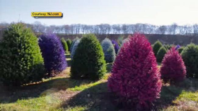 new jersey tree farm creates colored christmas trees abc7nycom