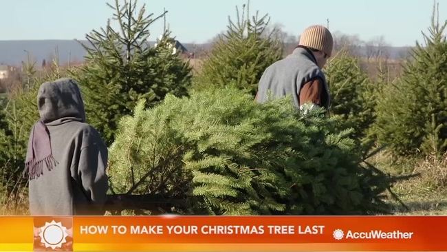 how to make your christmas tree last a long time abc7newscom - How Long Does A Christmas Tree Last