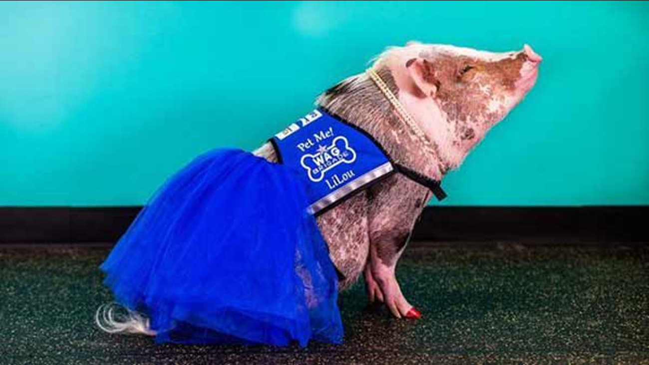 Meet LiLou, the first-ever airport therapy pig.