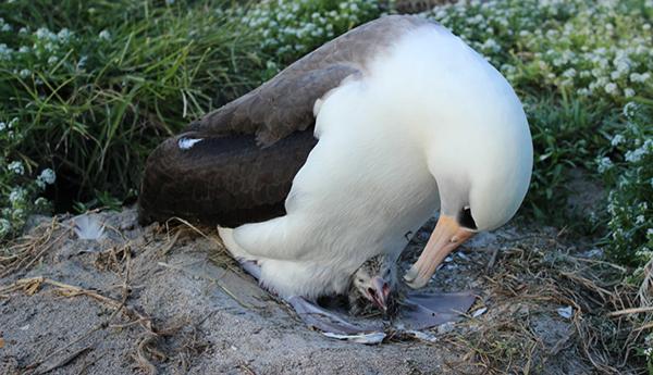 "<div class=""meta image-caption""><div class=""origin-logo origin-image none""><span>none</span></div><span class=""caption-text"">Laysan albatross Wisdom and her chick. (United States Fish & Wildlife Service)</span></div>"