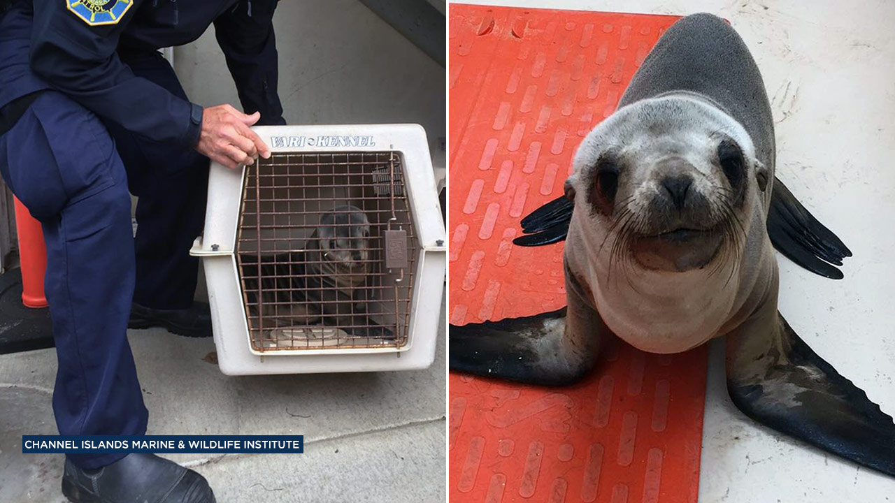 Crews with the Santa Barbara Harbor Patrol were able to rescue a malnourished California sea lion pup who wandered into the streets.