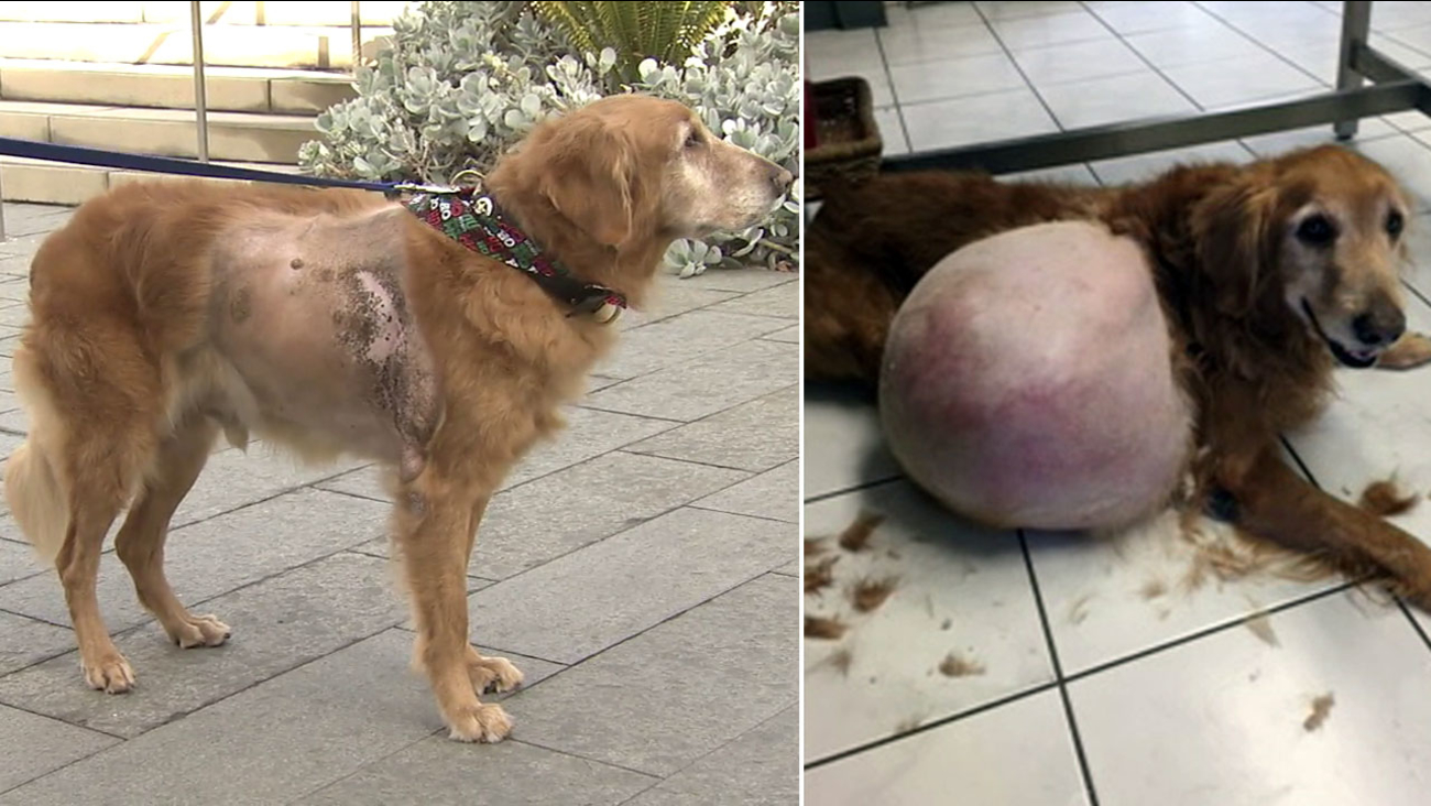 Henry, a 7-year-old golden retriever, is shown on Wednesday, Dec. 14, 2016, alongside an image from May 2016 when he had a 42-pound malignant tumor.