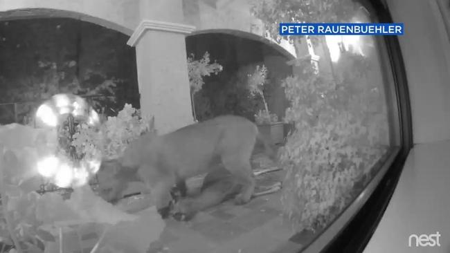 VIDEO: Mountain Lion caught on camera on Hillsborough porch ...