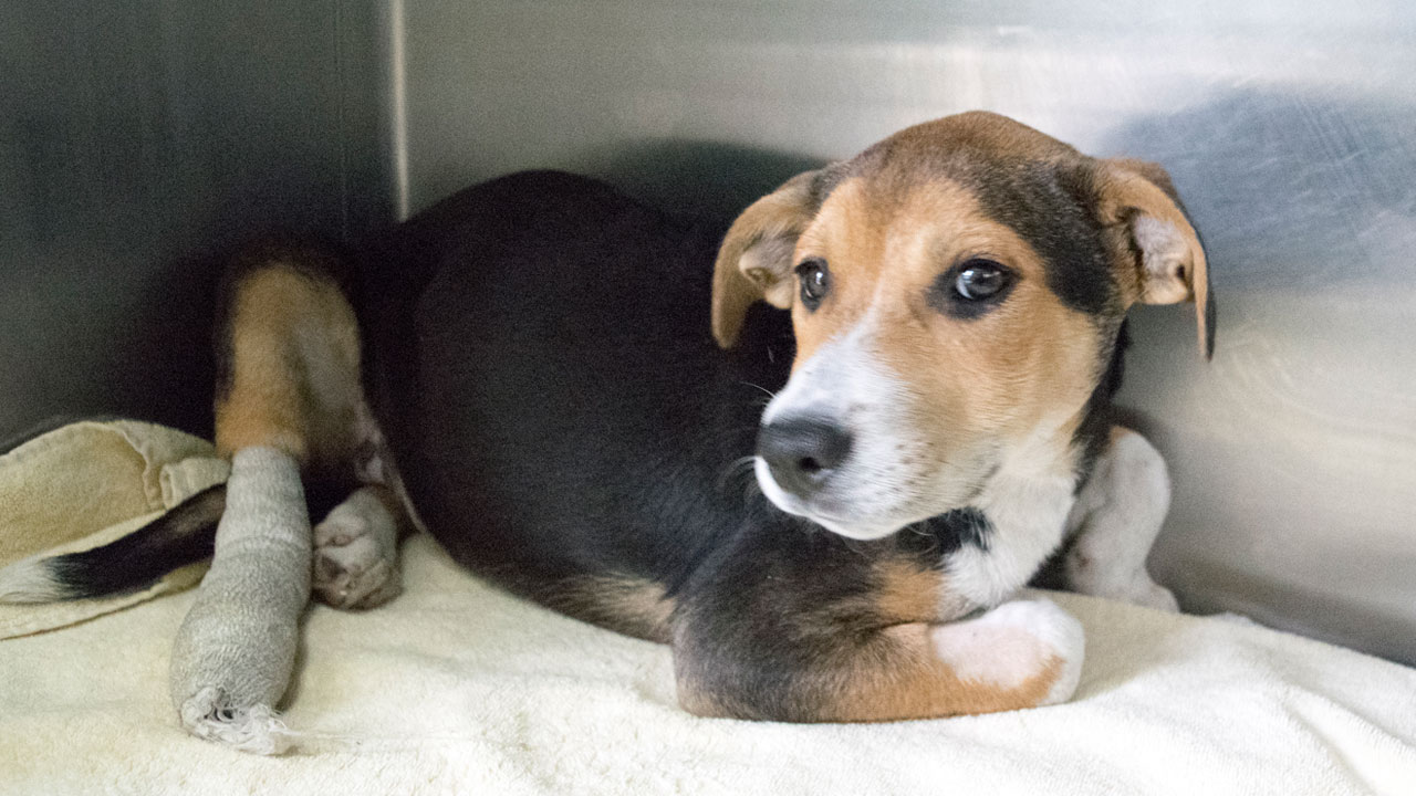Miracle, a 4-month-old beagle-mix pup, is shown in an undated photo at the Pasadena Humane Society and SCPA.