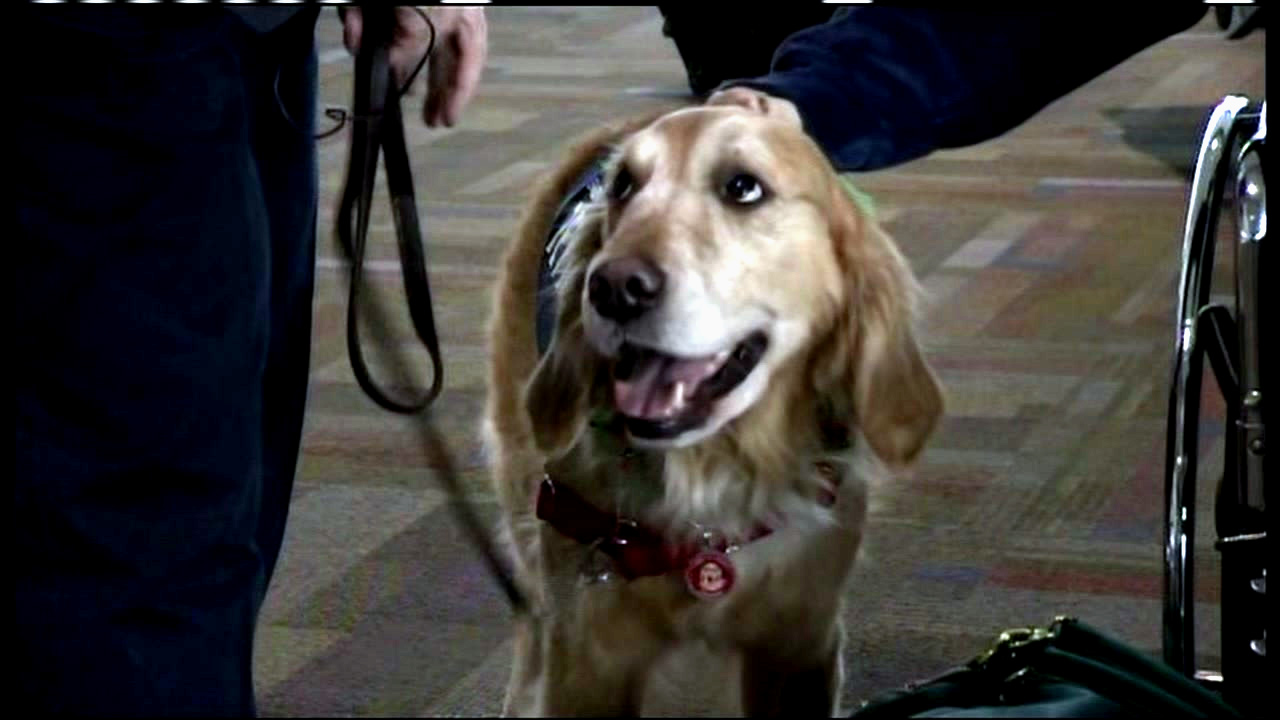 A therapy dog is seen at the Sacramento International Airport on Friday, December 23, 2016.