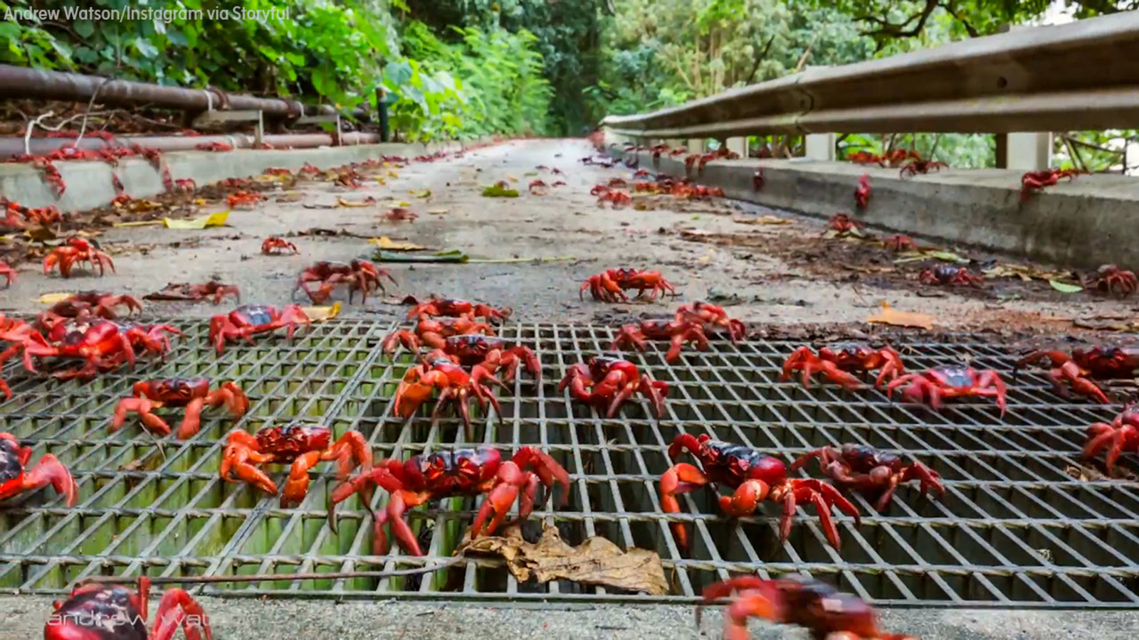 Millions of red crabs migrate on Christmas Island - ABC13 Houston