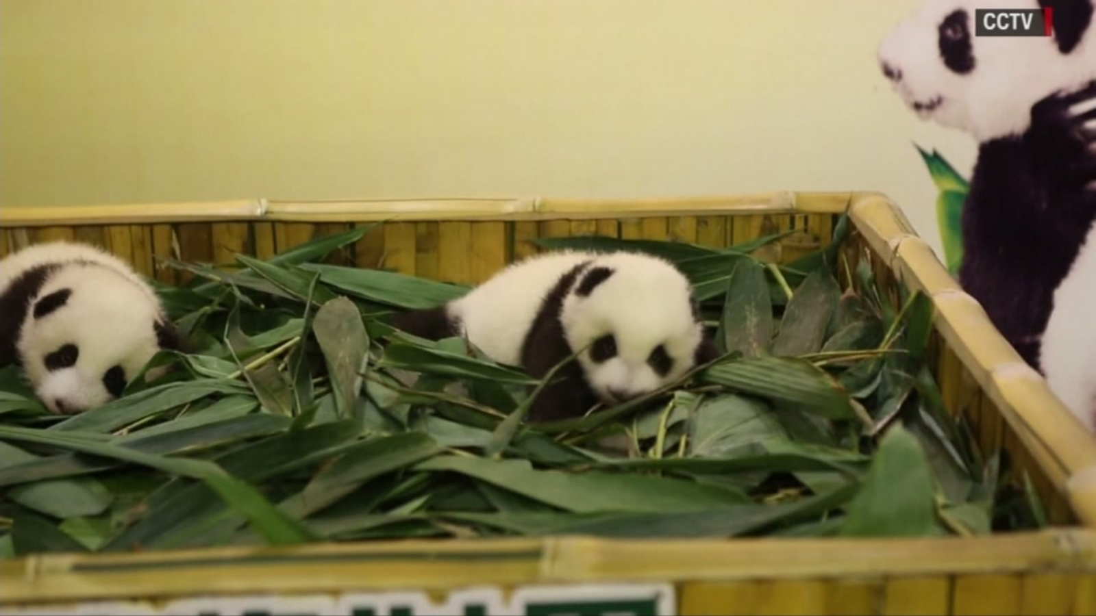 Chinese park takes names for two-year-old pandas