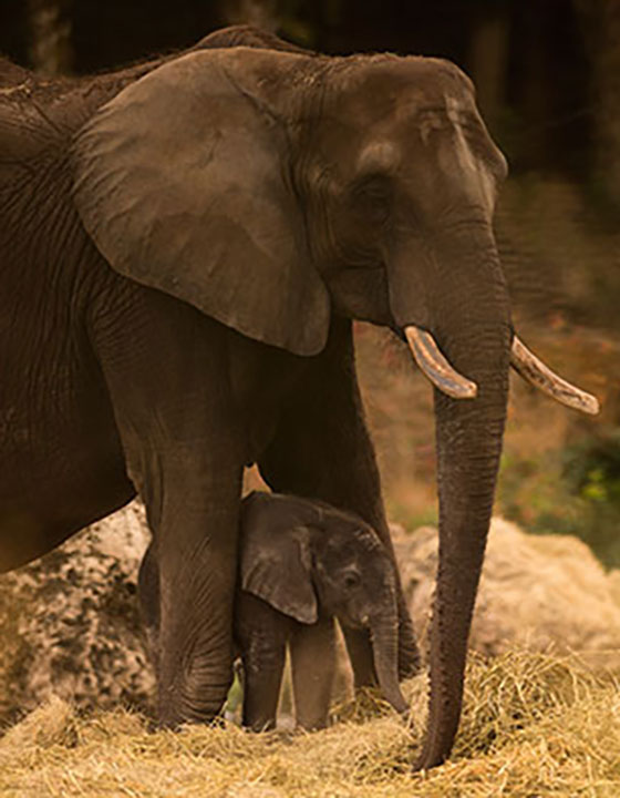 <div class='meta'><div class='origin-logo' data-origin='none'></div><span class='caption-text' data-credit='David Roark/Disney'>Stella the baby elephant is now exploring the savanna at Kilimanjaro Safaris in Disney World's Animal Kingdom.</span></div>