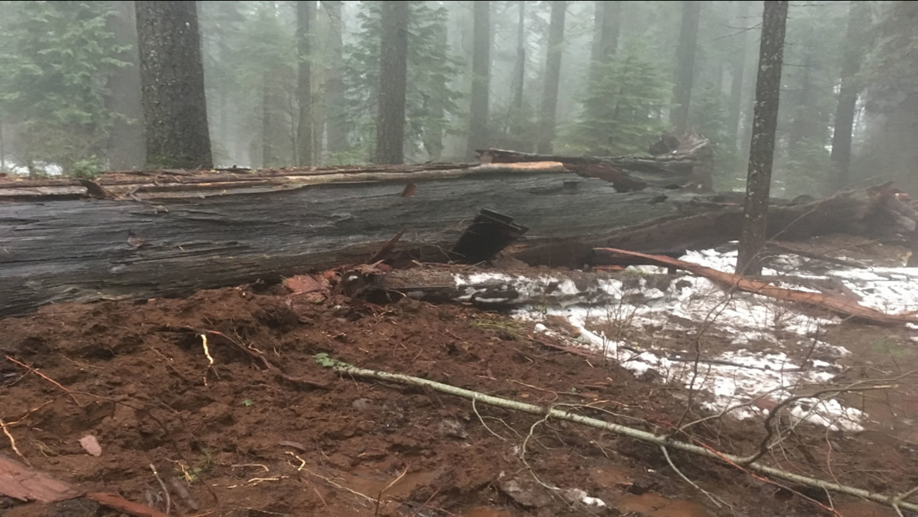 The Pioneer Cabin tree in Calaveras County, Calif. fell on Jan. 8, 2017 after a big Bay Area storm.