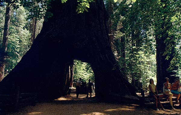 At Calaveras Big Trees State Park, this is the walk-through tree, a novelty thought up and carved through by unknown pioneers, shown Aug. 19, 1969.