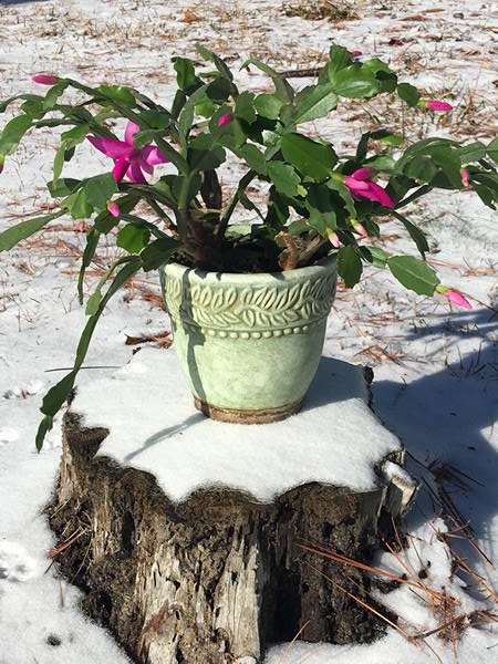 """<div class=""""meta image-caption""""><div class=""""origin-logo origin-image wtvd""""><span>WTVD</span></div><span class=""""caption-text"""">She (our pink Christmas cactus) has not bloomed in 10 years. Did not make it for Christmas but beautiful lakeside in the snow! (Lorie Robertson - ABC11 Eyewitness)</span></div>"""