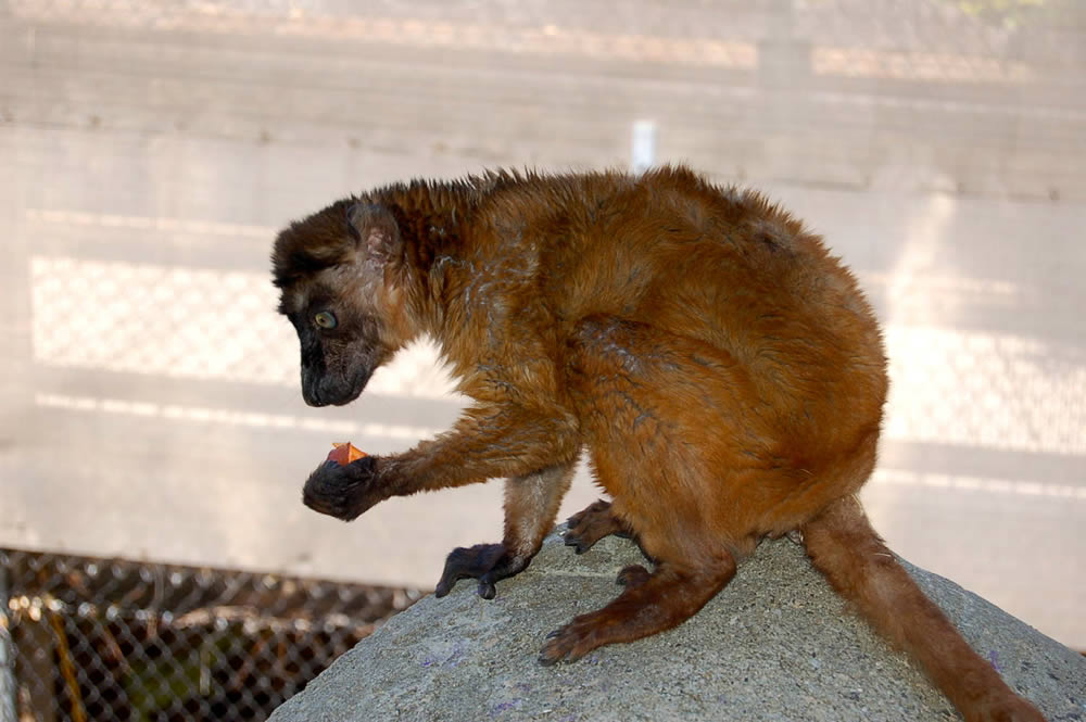 """<div class=""""meta image-caption""""><div class=""""origin-logo origin-image """"><span></span></div><span class=""""caption-text"""">Dern holding a carrot at the Oakland Zoo.  This rare blue-eyed lemur relocated to Oakland from the Cameron Park Zoo in Waco, TX. (Erin Harrison, Oakland Zoo)</span></div>"""