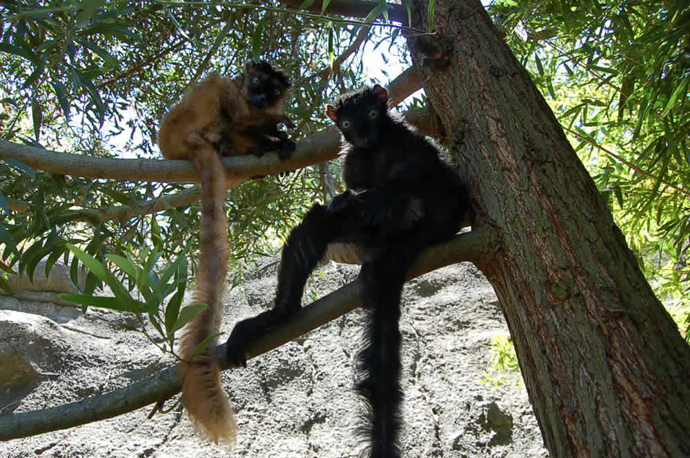 """<div class=""""meta image-caption""""><div class=""""origin-logo origin-image """"><span></span></div><span class=""""caption-text"""">Dern (left) and Anthony (right) coexist at an Oakland Zoo exhibit.  Zookeepers paired up the two highly endangered blue-eyed lemurs for breeding. (Erin Harrison, Oakland Zoo)</span></div>"""
