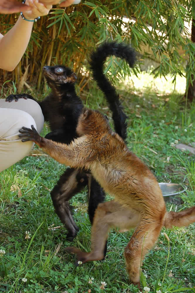 """<div class=""""meta image-caption""""><div class=""""origin-logo origin-image """"><span></span></div><span class=""""caption-text"""">Anthony (left) and Dern (right) coexist at an Oakland Zoo exhibit.  Zookeepers paired up the two highly endangered blue-eyed lemurs for breeding. (Erin Harrison, Oakland Zoo)</span></div>"""