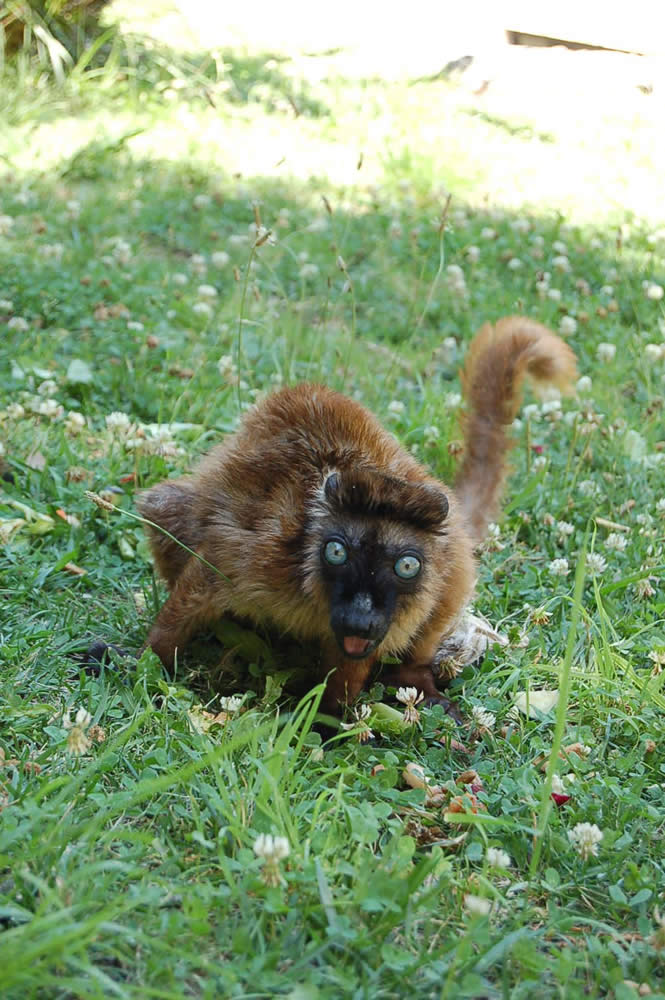 """<div class=""""meta image-caption""""><div class=""""origin-logo origin-image """"><span></span></div><span class=""""caption-text"""">Dern, a rare blue-eyed lemur, relocated to Oakland from the Cameron Park Zoo in Waco, TX. (Erin Harrison, Oakland Zoo)</span></div>"""