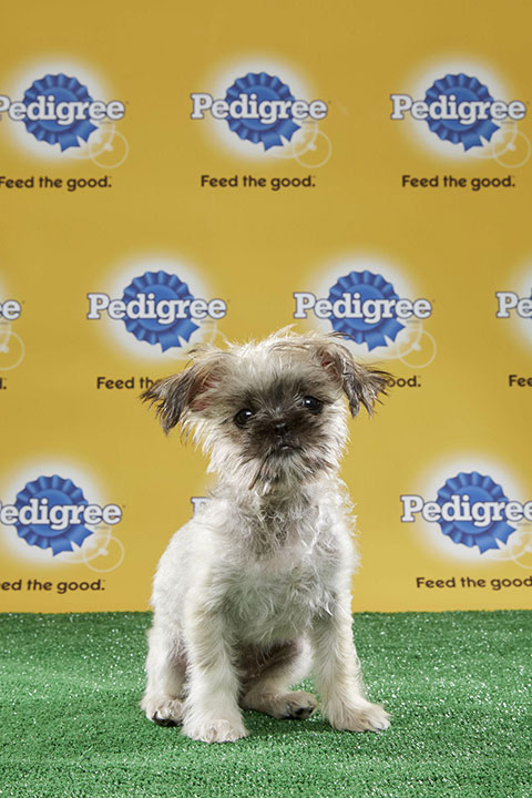 "<div class=""meta image-caption""><div class=""origin-logo origin-image none""><span>none</span></div><span class=""caption-text"">Wilma, for Team Fluff, is a 16-week-old pug/Shih Tzu mix. She's from New Jersey (Animal Planet)</span></div>"