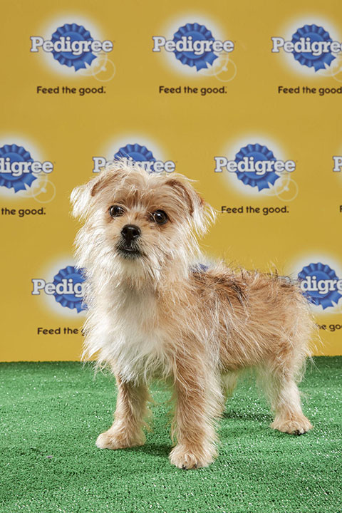 "<div class=""meta image-caption""><div class=""origin-logo origin-image none""><span>none</span></div><span class=""caption-text"">Peanut, for Team Fluff, is a 19-week-old Brussels Griffon mix. She's from Nevada. (Animal Planet)</span></div>"