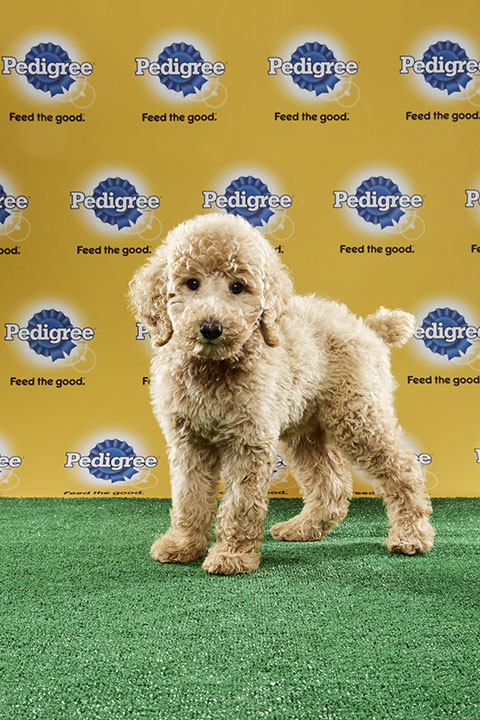 "<div class=""meta image-caption""><div class=""origin-logo origin-image none""><span>none</span></div><span class=""caption-text"">Oliver, for Team Fluff, is a 12-week-old standard poodle. He's from Florida. (Animal Planet)</span></div>"