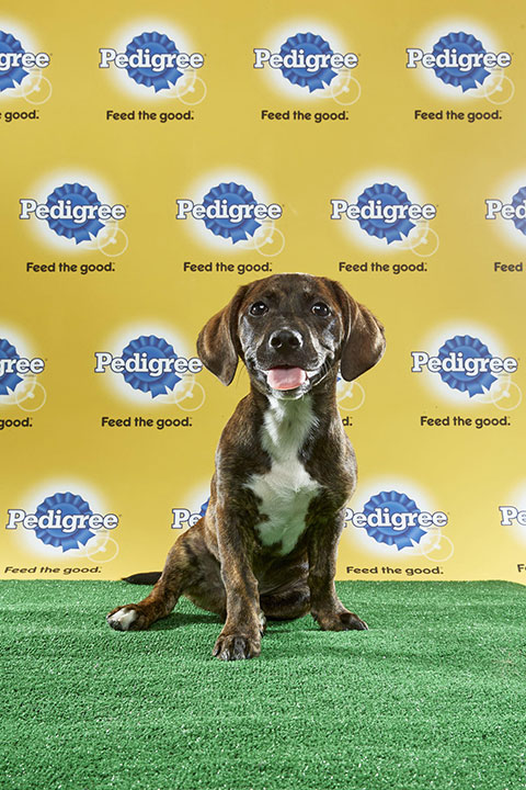 "<div class=""meta image-caption""><div class=""origin-logo origin-image none""><span>none</span></div><span class=""caption-text"">Buddy Love, for Team Fluff, is a 14-week-old dachshund/pit bull mix. He's from New York. (Animal Planet)</span></div>"