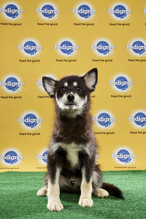 "<div class=""meta image-caption""><div class=""origin-logo origin-image none""><span>none</span></div><span class=""caption-text"">Alexander Hamilpup, for Team Fluff, is a 19-week-old Pomsky mix. He's from Florida. (Animal Planet)</span></div>"