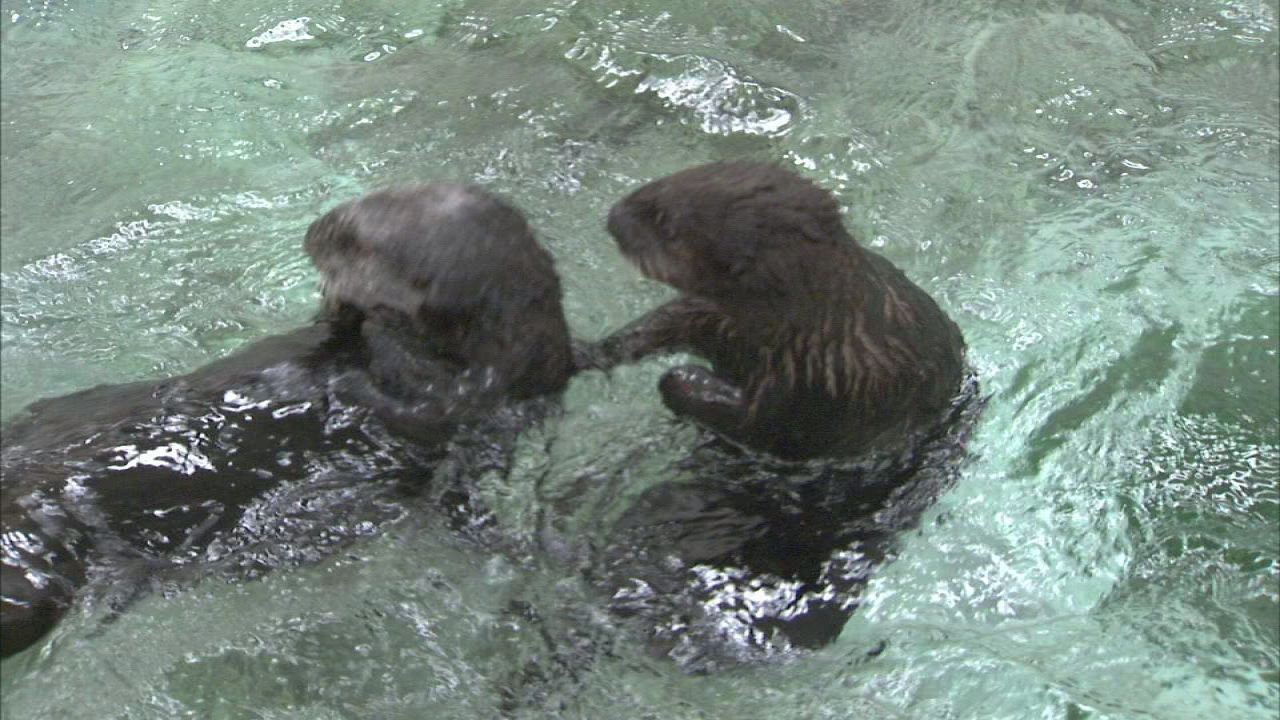 Sea otters frolicking at Shedd Aquarium