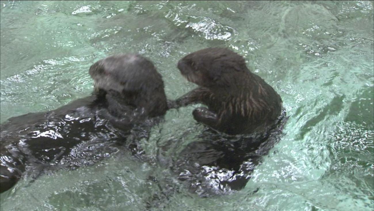 Sea otters frolicking at Shedd Aquarium