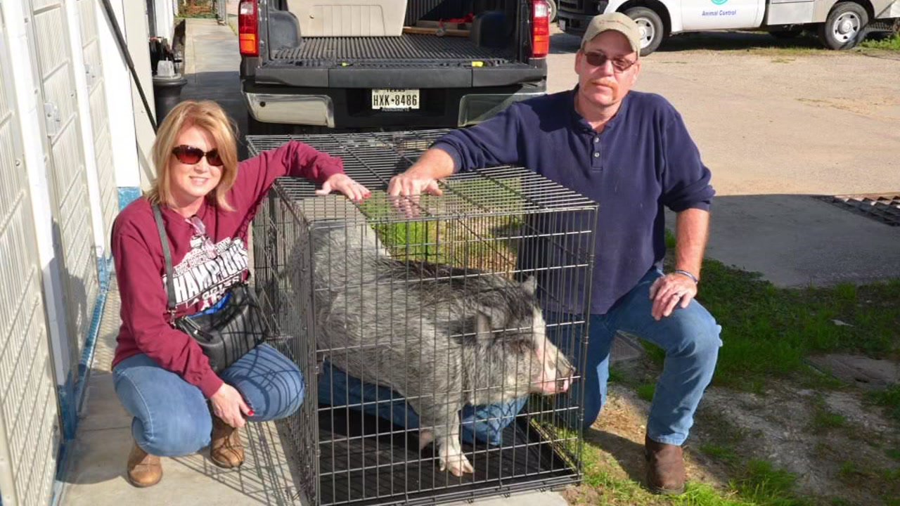 Meet Spamela Hamerson: The Houston SPCA pig up for ...  Pearland