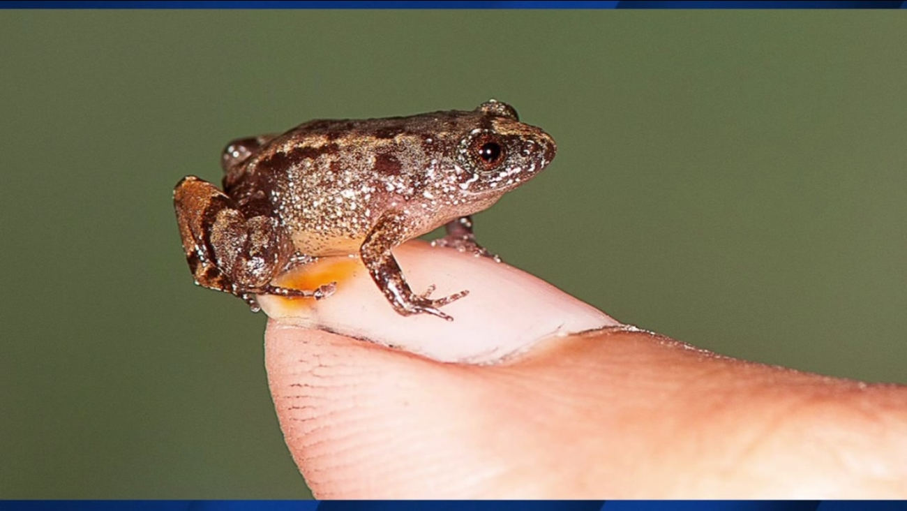 A tiny newly discovered frog is seen in this undated image.