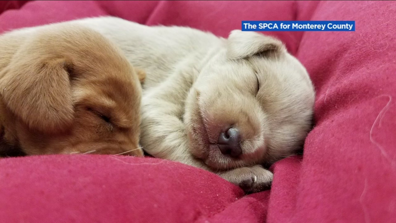 Puppies rescued from underneath a school building in Salinas, Calif. are seen in this undated image.