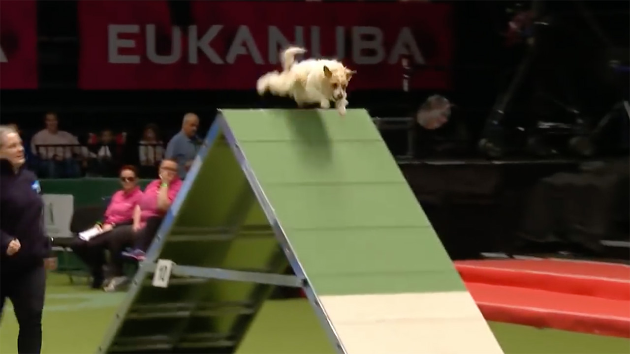 Image of a Jack Russell Terrier completing the agility course.