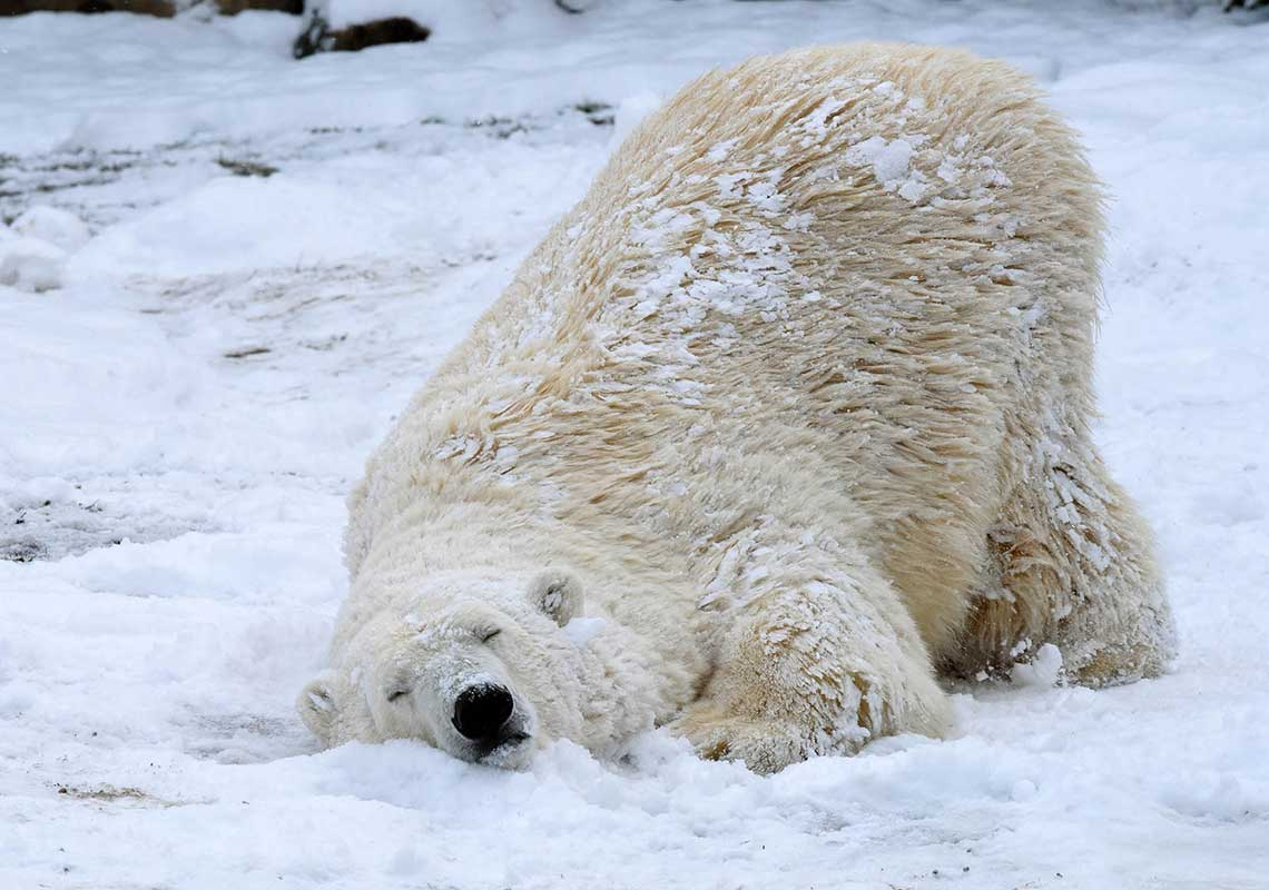 """<div class=""""meta image-caption""""><div class=""""origin-logo origin-image wls""""><span>WLS</span></div><span class=""""caption-text"""">Nan, a 21-year-old polar bear at Brookfield Zoo is enjoying the wintry weather that finally arrived in Chicago. (Jim Schulz/Chicago Zoological Society)</span></div>"""