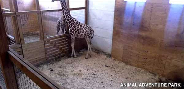 <div class='meta'><div class='origin-logo' data-origin='none'></div><span class='caption-text' data-credit=''>April the Giraffe is having a baby, and she's ready to give birth at any moment!</span></div>