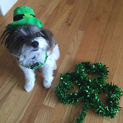 "<div class=""meta image-caption""><div class=""origin-logo origin-image none""><span>none</span></div><span class=""caption-text"">A dog is seen wearing a hat and necklace in honor of St. Patrick's Day in San Francisco, Calif. on Friday, March 17, 2017. (Photo submitted to KGO-TV by @wilson_in_the_city/Instagram)</span></div>"