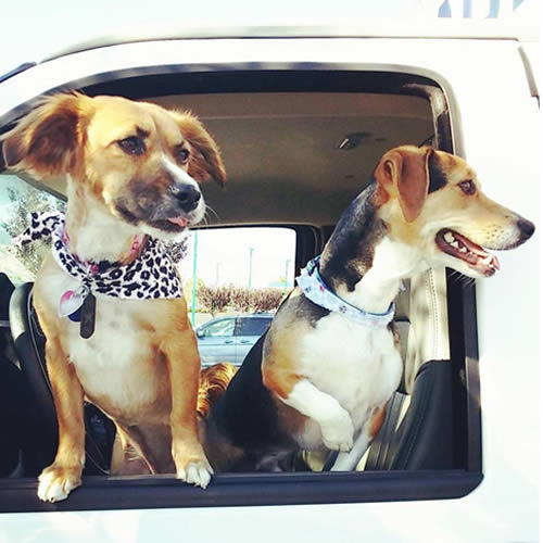 <div class='meta'><div class='origin-logo' data-origin='none'></div><span class='caption-text' data-credit='Photo submitted to KGO-TV by @justaguywithtattoos/Instagram'>Two dogs are seen hanging out of a truck's window in Grapevine, Calif. on Thursday, March 16, 2017.</span></div>