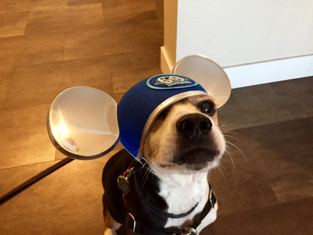 <div class='meta'><div class='origin-logo' data-origin='none'></div><span class='caption-text' data-credit='Photo submitted to KGO-TV by @ReggieAqui/Twitter'>ABC7 Mornings anchor Reggie Aqui's beagle Woodstock wears Mickey ears in this undated image.</span></div>