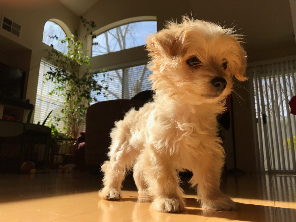 "<div class=""meta image-caption""><div class=""origin-logo origin-image none""><span>none</span></div><span class=""caption-text"">Leo the Maltipoo appears in San Jose, Calif. in this undated image. (Photo submitted to KGO-TV by @koreanhusband/Twitter)</span></div>"