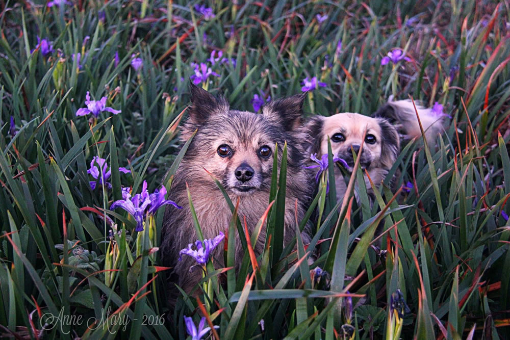 "<div class=""meta image-caption""><div class=""origin-logo origin-image none""><span>none</span></div><span class=""caption-text"">Two puppies appear in a bed of purple flowers in this undated image. (Photo submitted to KGO-TV by Anne Mary Schaefer/Facebook)</span></div>"